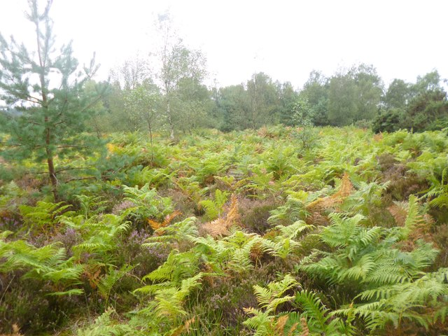 Avon Heath, bracken