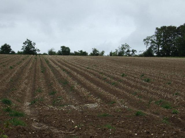 Potato crop ready for harvesting