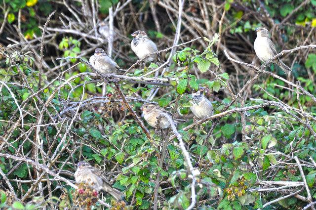 Ilfracombe : Birds in the Bushes
