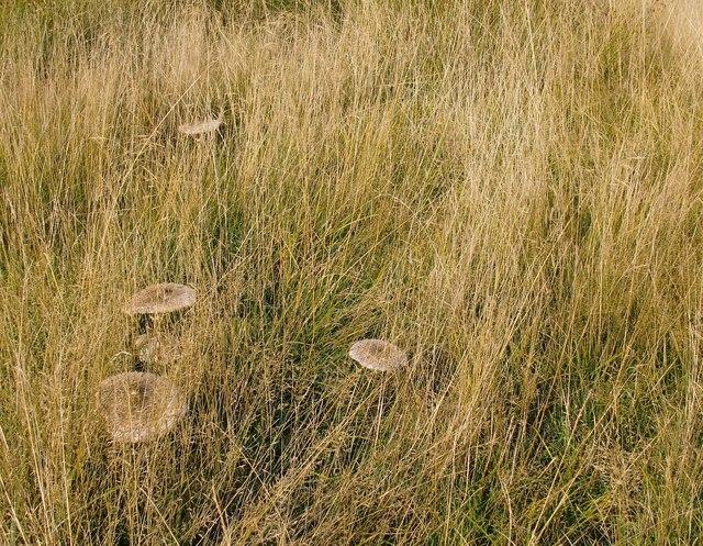 Parasol mushrooms, Lawn Field, September 2014 (2)