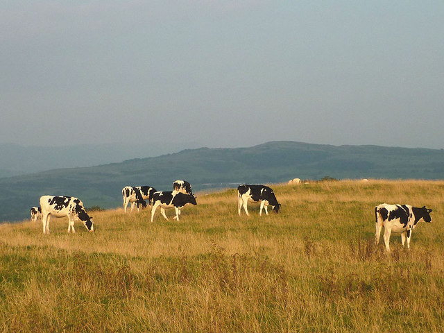 Dairy herd on Cunswick Fell
