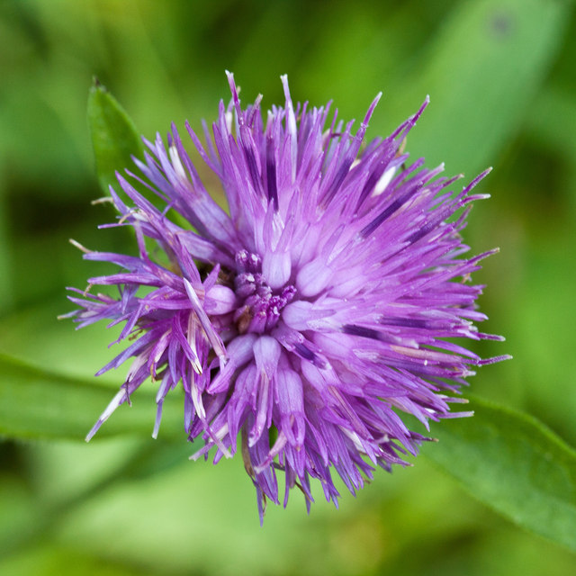 Knapweed flower by East Row Beck