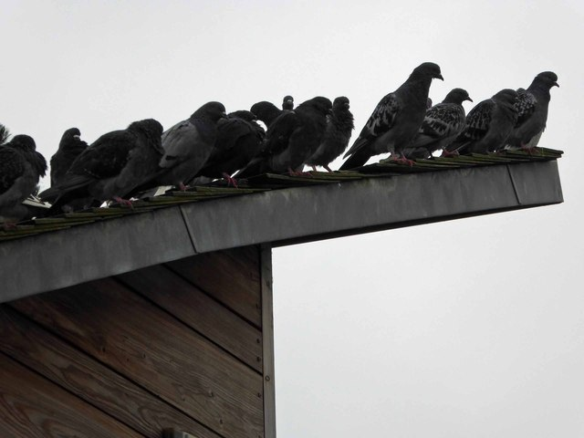 Coo pigeons on the café roof