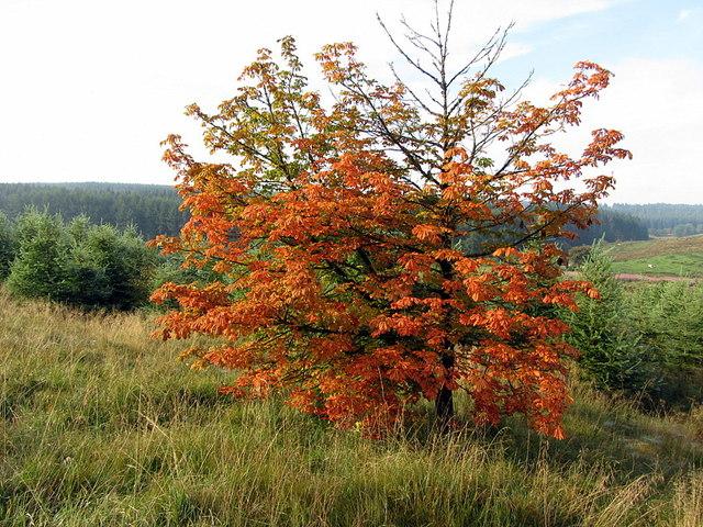 Early autumn colours near Kerseycleugh Bridge