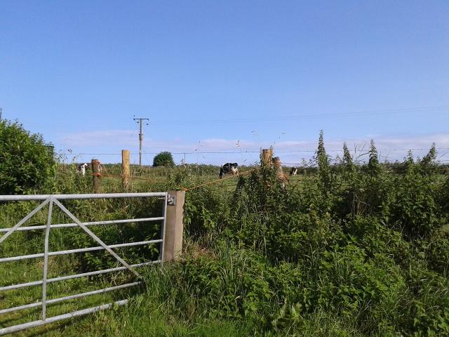 Cows at Higher Trethern Farm