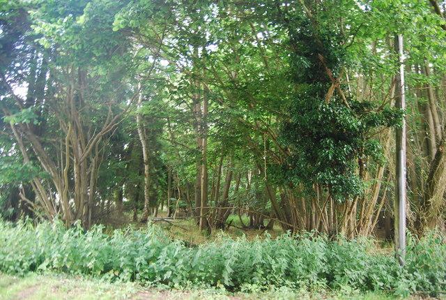 Little Birch Wood
