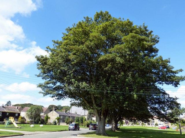 Oak trees in Grewelthorpe