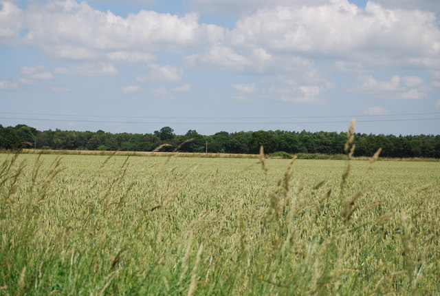 Wheat by Coxhall Rd