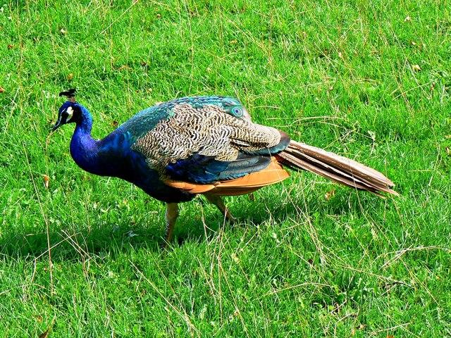 Peacock, Newark Park, Gloucestershire