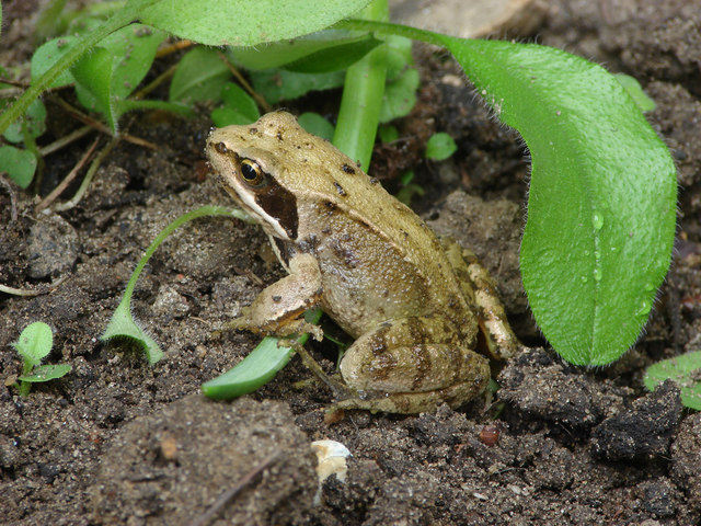 Common frog, Bisley