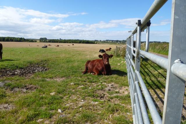 Cattle near East Fleetham