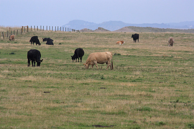 Cows grazing the coastal marshes