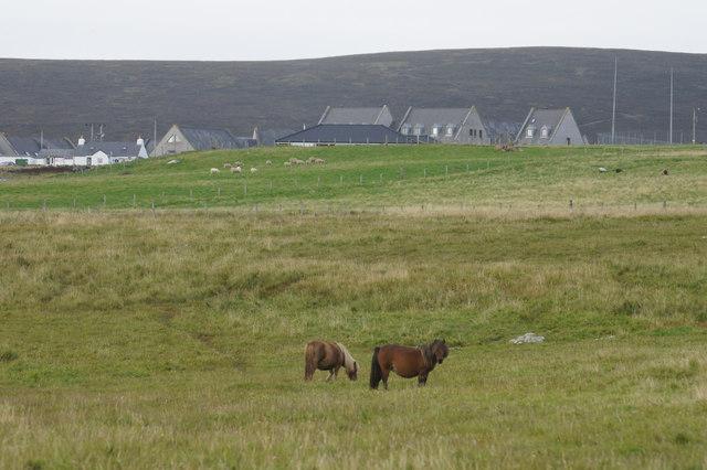 Shetland ponies at Haroldswick