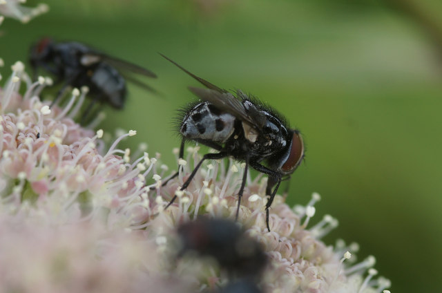 The musciid fly Graphiomya minor, Halligarth, Baltasound