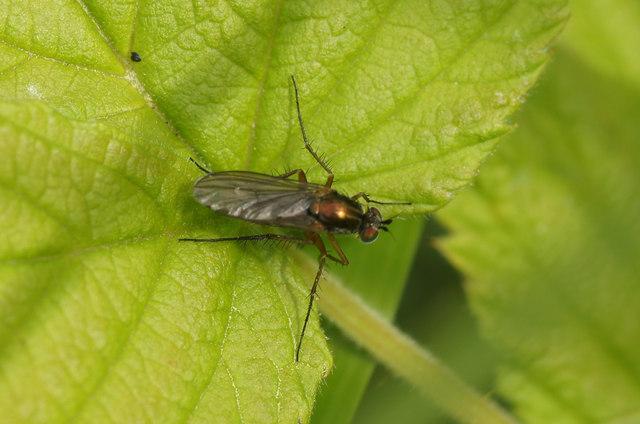 A Dolichopid fly, Valyie, Norwick