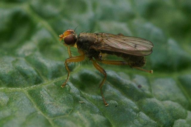 The Scatophagid fly Norellisoma spinimanum, Valyie, Norwick