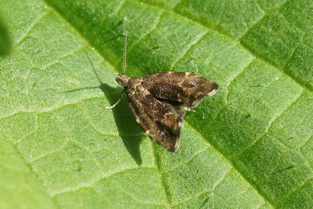 Nettle-tap (Anthophila fabriciana), Valyie, Norwick