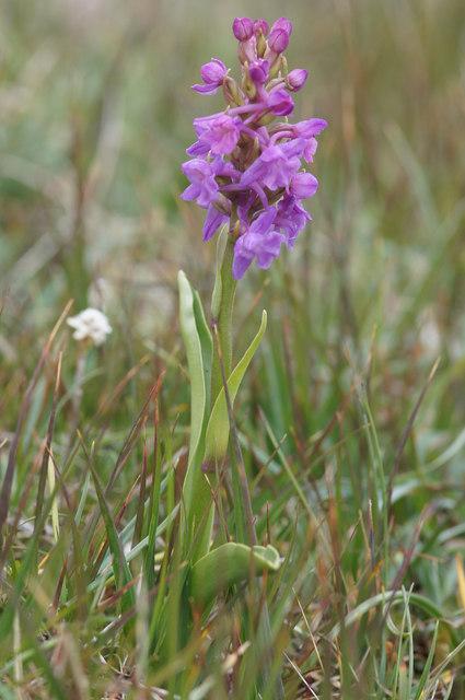 Heath Fragrant Orchid (Gymnadenia borealis), Keen of Hamar