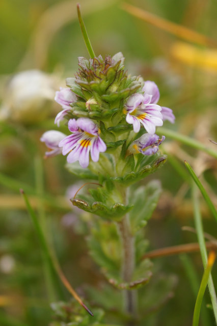 Eyebright (Euphrasia officianalis agg.), Keen of Hamar