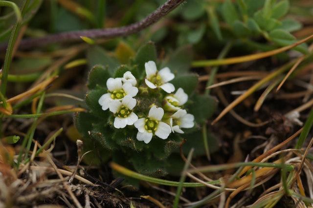 Hoary Whitlow-grass (Draba incana), Keen of Hamar