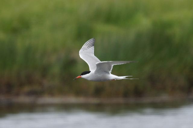 Common Tern (Sterna hirundo), Haroldswick pool