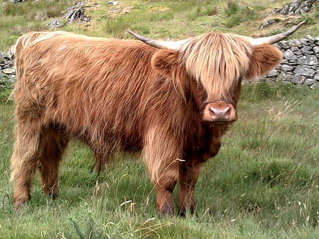 Highland cow at Tilberthwaite