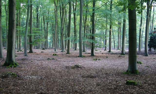 Beech trees of Blackwood Forest