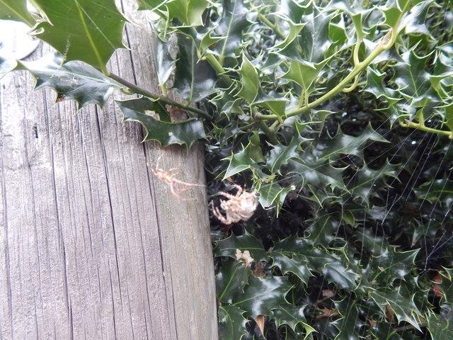 Garden Spiders mating