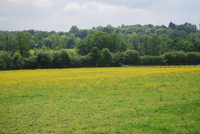 Buttercup meadow