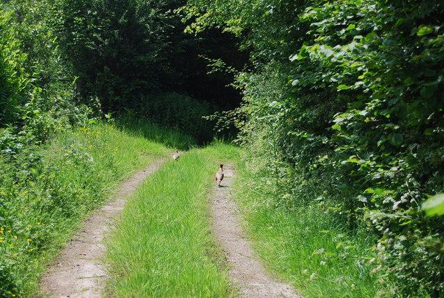 Pheasants ahead