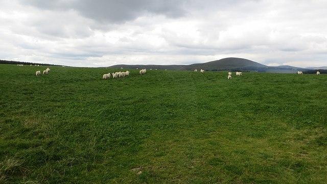 Sheep off Bogsbank Road