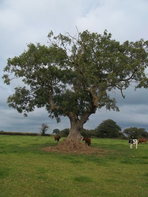 Tree and Cattle near Rough Grounds