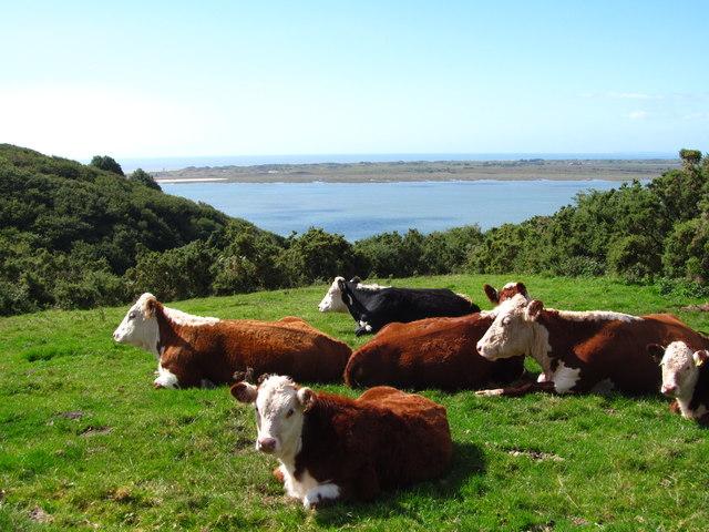 Coastline cattle