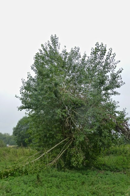 Wind damaged poplar