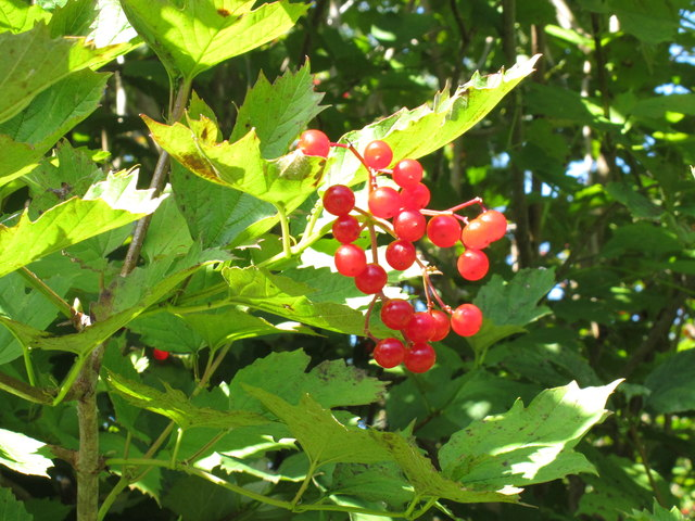 Redcurrant fruit by the canal