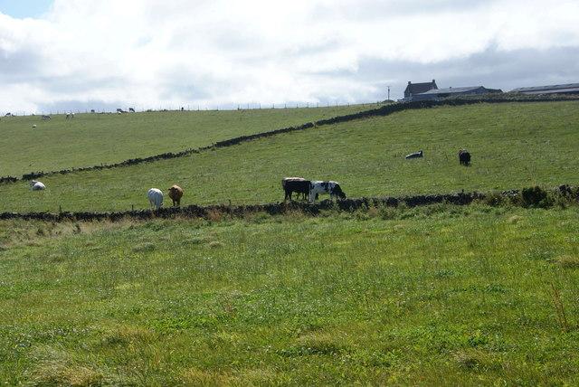 Cattle grazing below Gnipe Howe