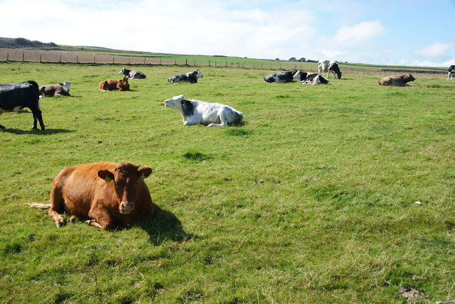 Cows relaxing in the sun