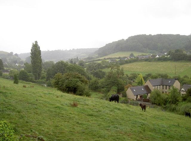 Holywell heifers