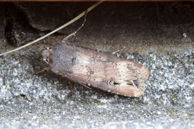 Dark Sword Grass (Agrotis ipsilon), Baltasound
