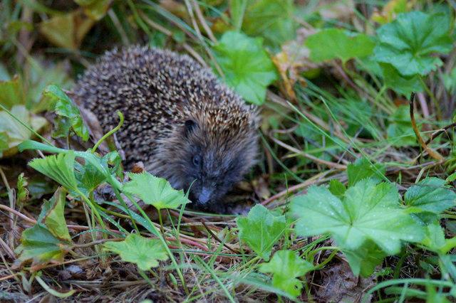 Hedgehog (Erinaceus europaeus), Baltasound