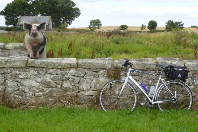 Pig and Bicycle