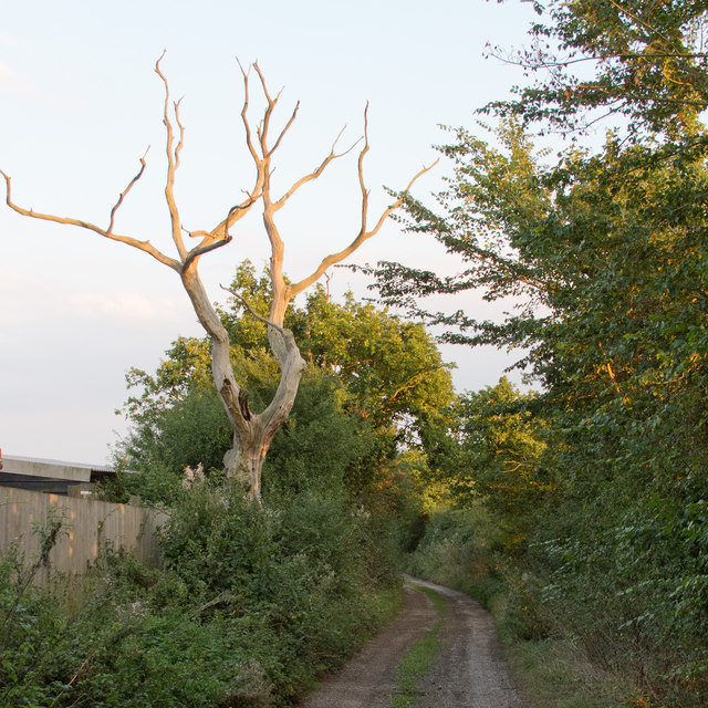 Dead tree, Honeypot Lane (public footpath), Tolleshunt Knights