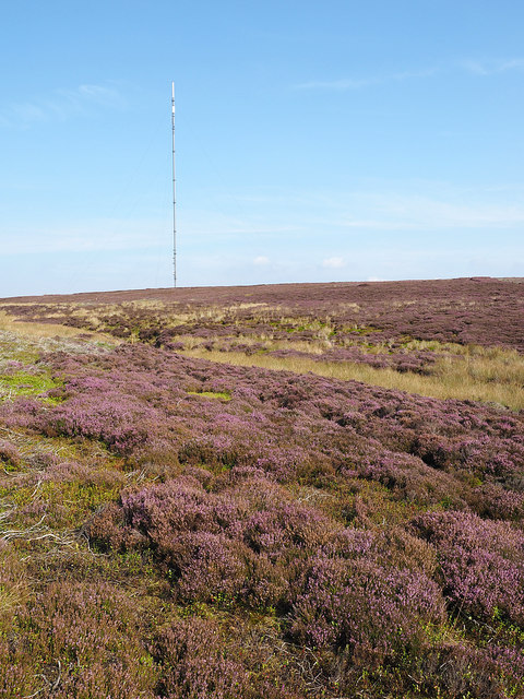 Flowering heather in upper valley of Parci Gill