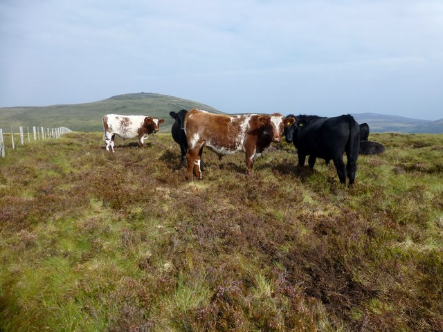 Beef Cattle Grazing On The Flat Summit Of Birnie Brae