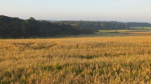 Barley near Dechmont