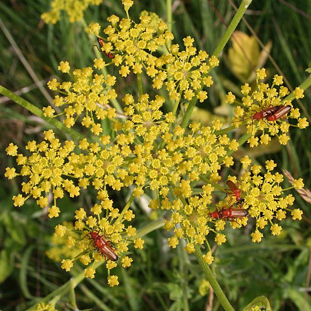Wild Parsnip (Pastinaca sativa) with Soldier Beetles