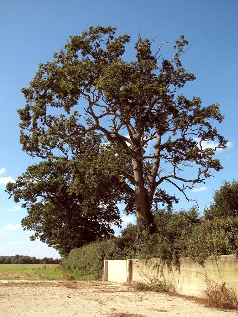 Old oak near Blackwater Corner
