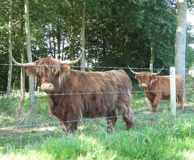 Highland cows by Lower Farm, Tuttington