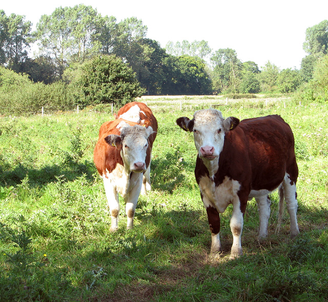 Cattle pasture by Lower Farm, Tuttington