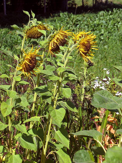 Sunflowers in game bird crop field